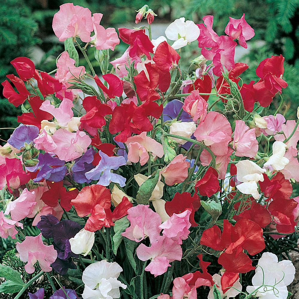 DVÄRGLUKTÄRT 'Bijou' i gruppen Ettåriga blomsterväxter / Doftande hos Impecta Fröhandel (8480)