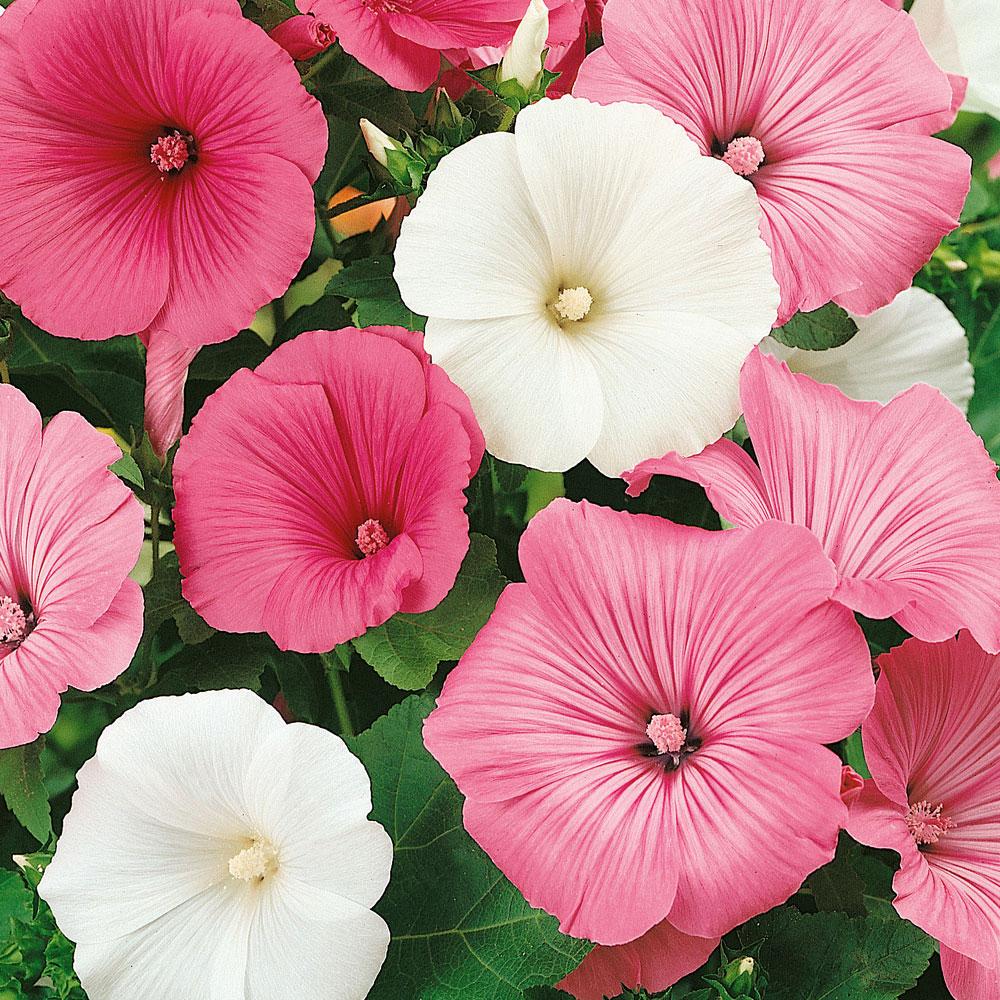 Sommarmalva i gruppen Ettåriga blomsterväxter hos Impecta Fröhandel (8490)