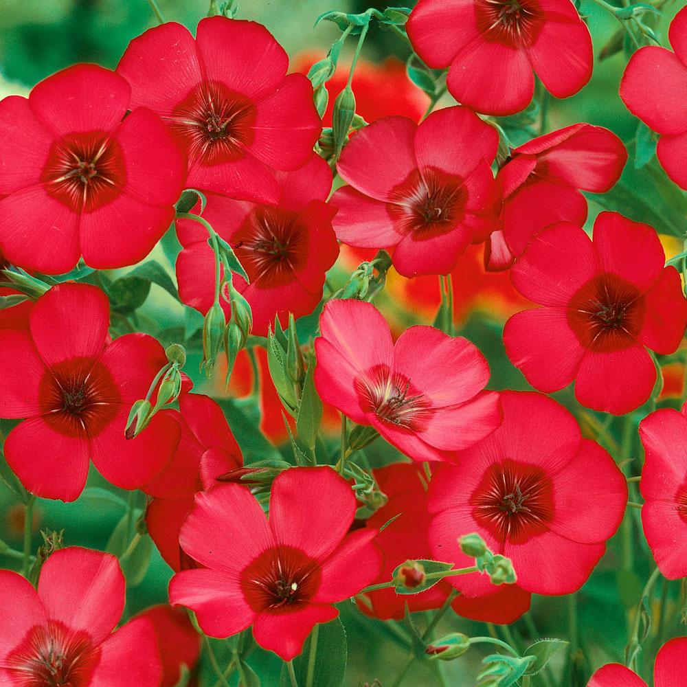 BLOMSTERLIN 'Rubrum' i gruppen Ettåriga blomsterväxter hos Impecta Fröhandel (8500)