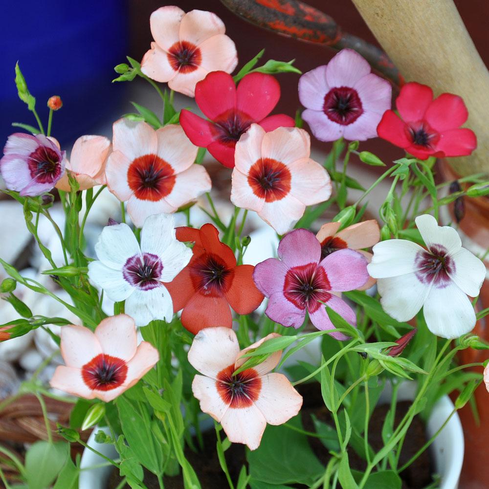 Blomsterlin i gruppen Ettåriga blomsterväxter hos Impecta Fröhandel (8502)