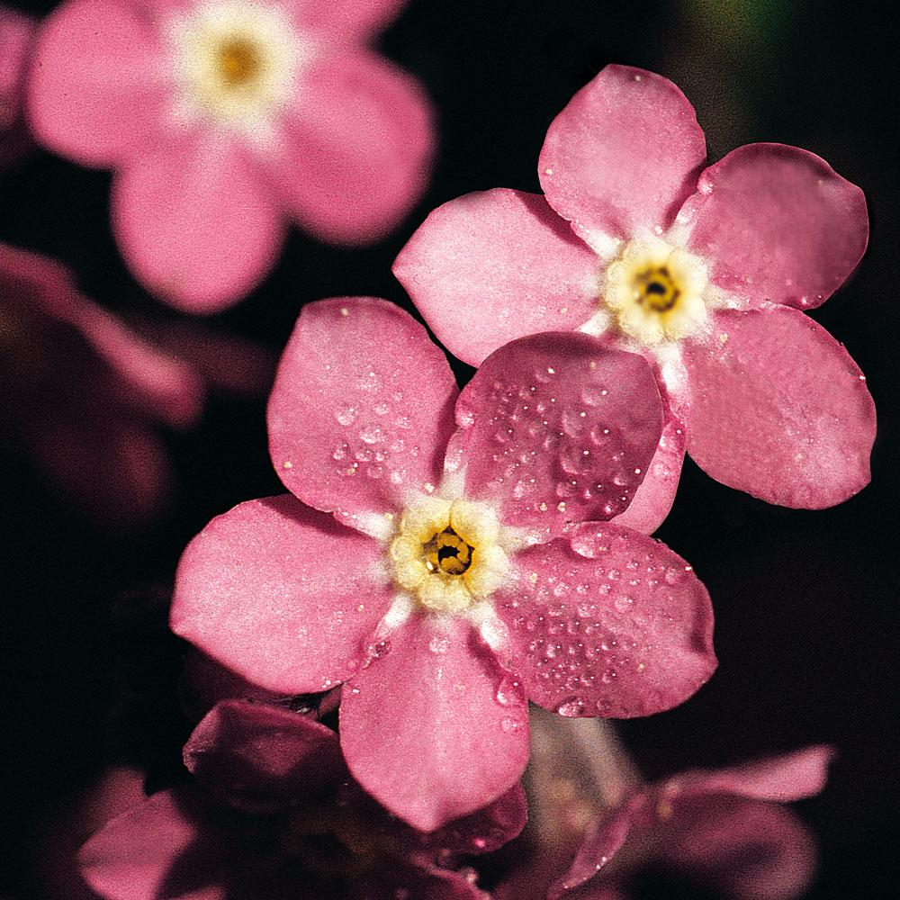 TRÄDGÅRDSFÖRGÄTMIGEJ 'Rosylva' i gruppen Ettåriga blomsterväxter hos Impecta Fröhandel (8578)