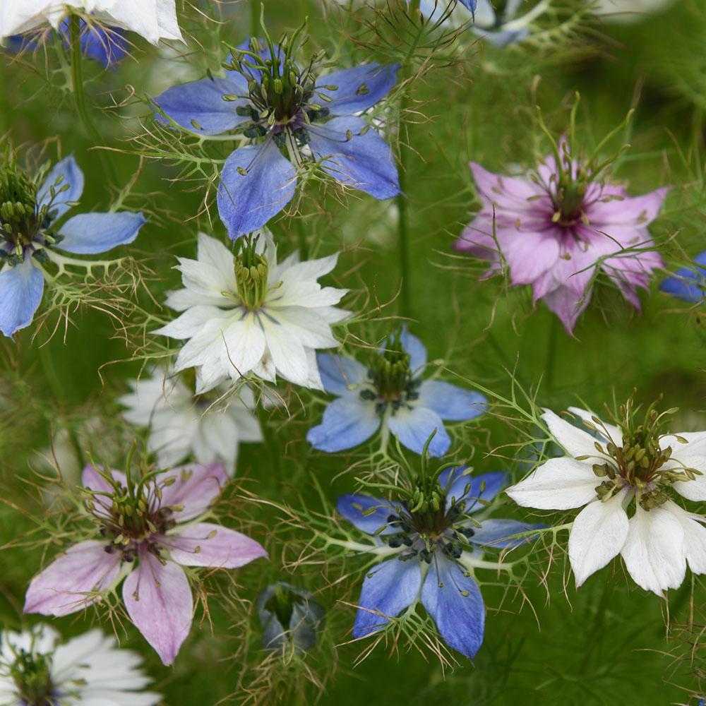 JUNGFRUN I DET GRÖNA 'Persian Jewels' i gruppen Fröer / Ettåriga blomsterväxter hos Impecta Fröhandel (86136)