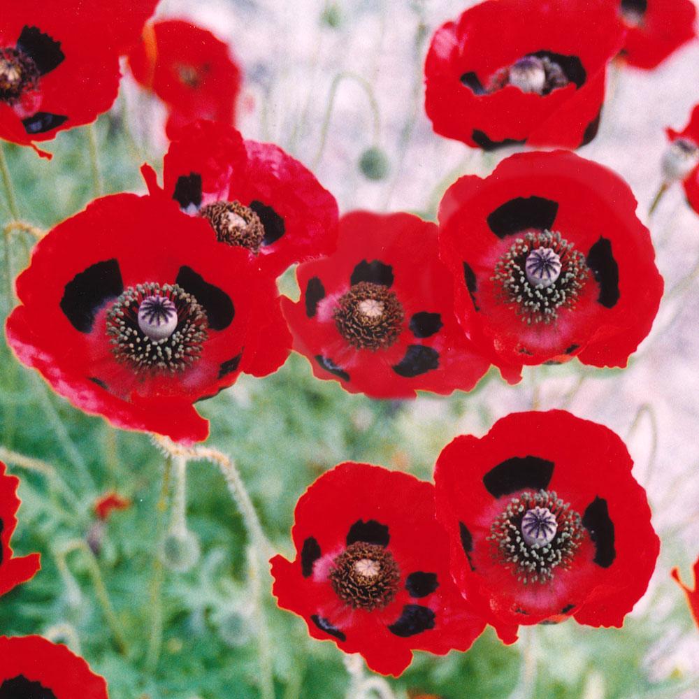 FLÄCKVALLMO 'Lady Bird' i gruppen Ettåriga blomsterväxter hos Impecta Fröhandel (8621)