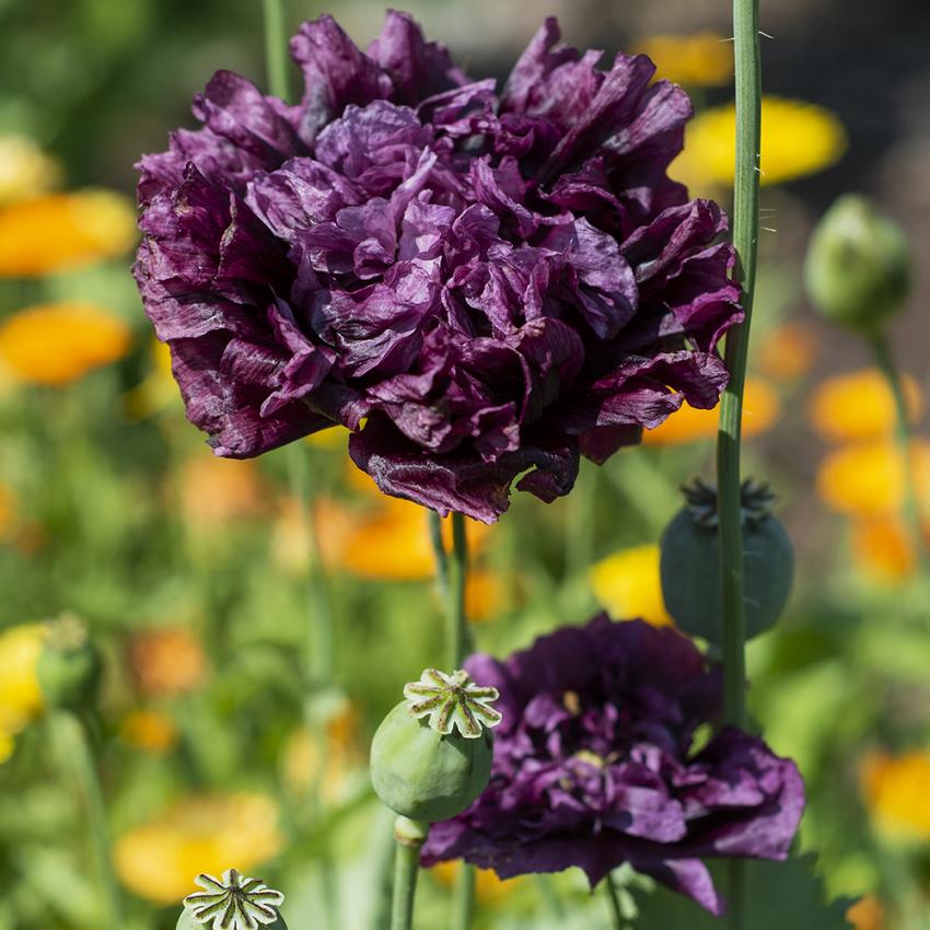 PIONVALLMO 'Black Dragon' i gruppen Ettåriga blomsterväxter hos Impecta Fröhandel (8622)