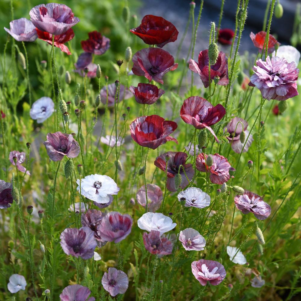 KORNVALLMO 'Pandora' i gruppen Fröer / Ettåriga blomsterväxter hos Impecta Fröhandel (86252)