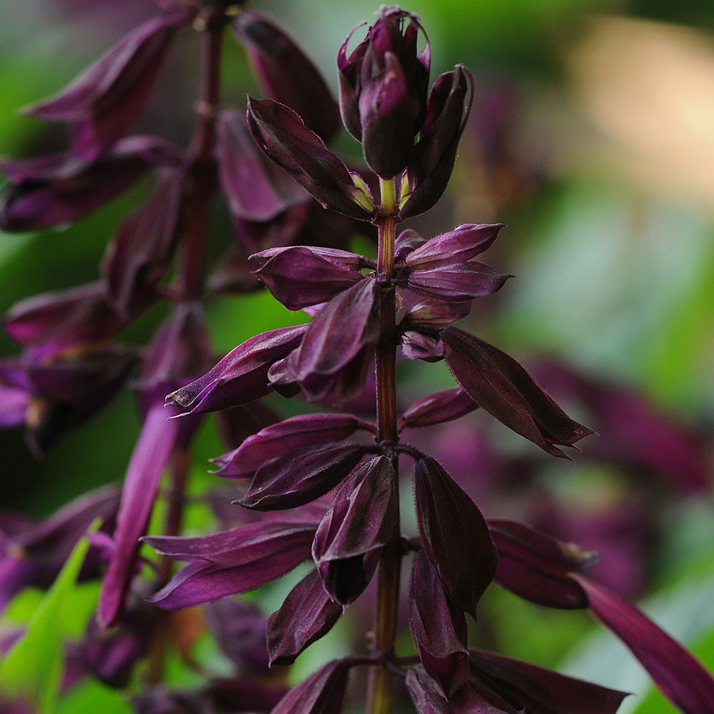 PRAKTSALVIA 'Lighthouse Purple'