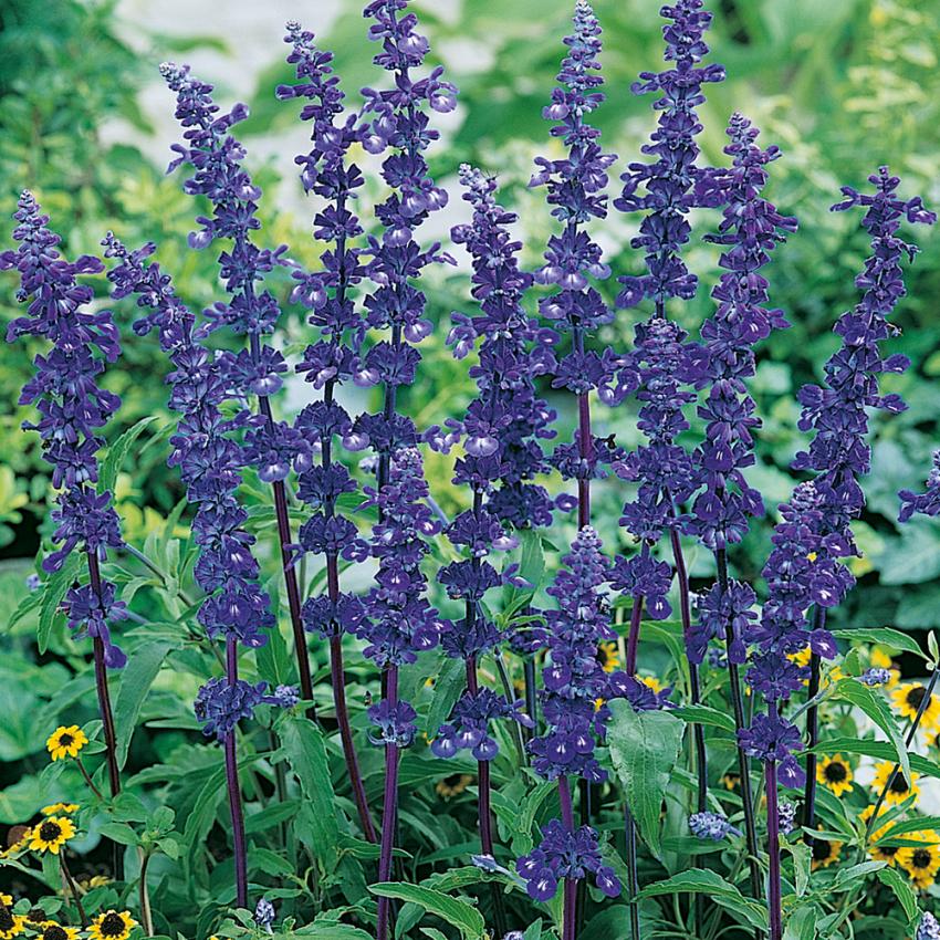 DAGGSALVIA 'Blue Bedder' i gruppen Eterneller / Blommor hos Impecta Fröhandel (8715)