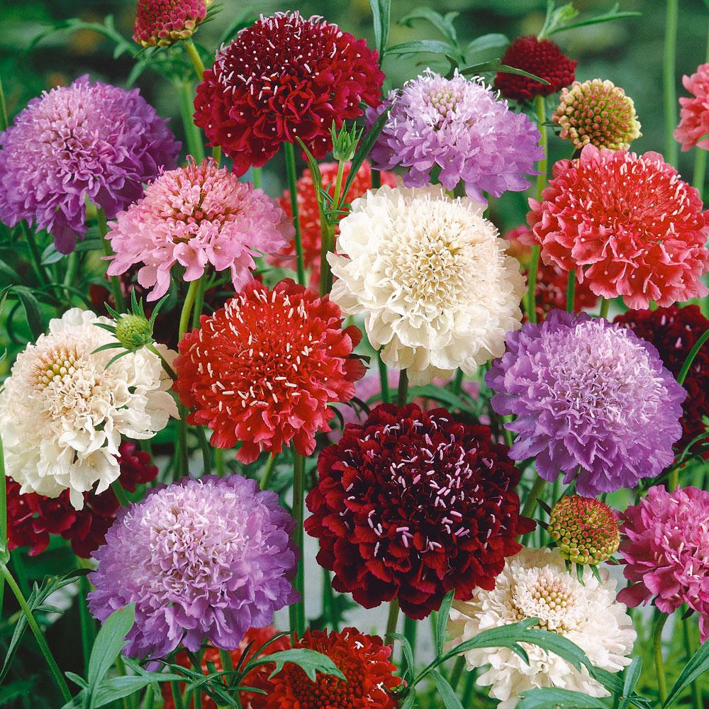 PRAKTVÄDD i gruppen Fröer / Ettåriga blomsterväxter / Doftande hos Impecta Fröhandel (8720)