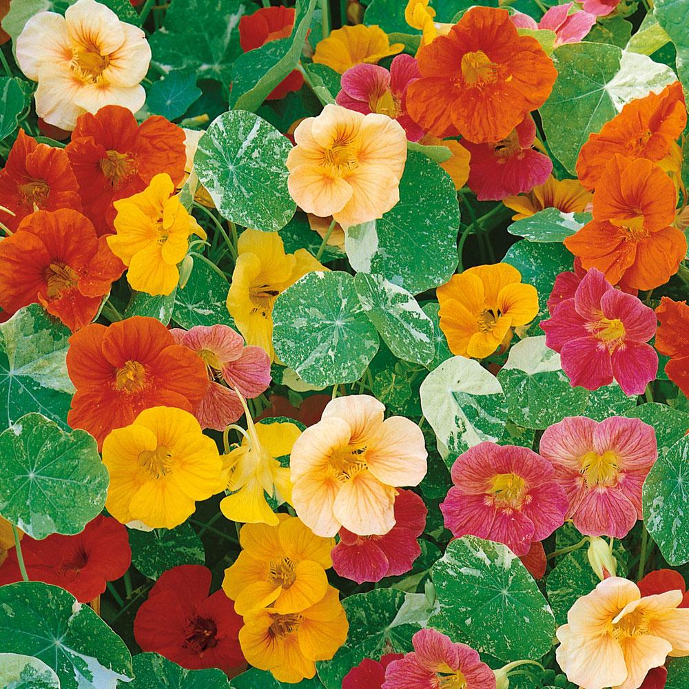 Indiankrasse i gruppen Ettåriga blomsterväxter hos Impecta Fröhandel (8811)