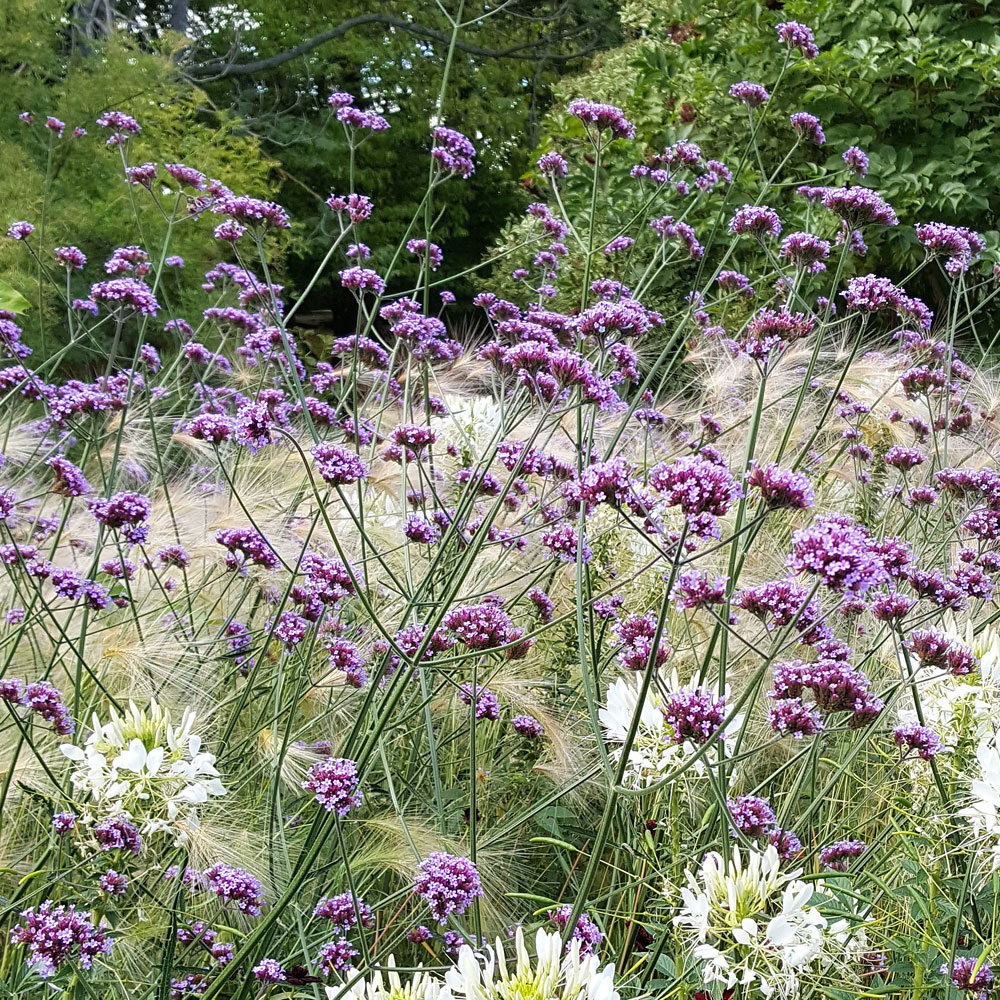 Jätteverbena i gruppen Fröer / Ettåriga blomsterväxter hos Impecta Fröhandel (8817)