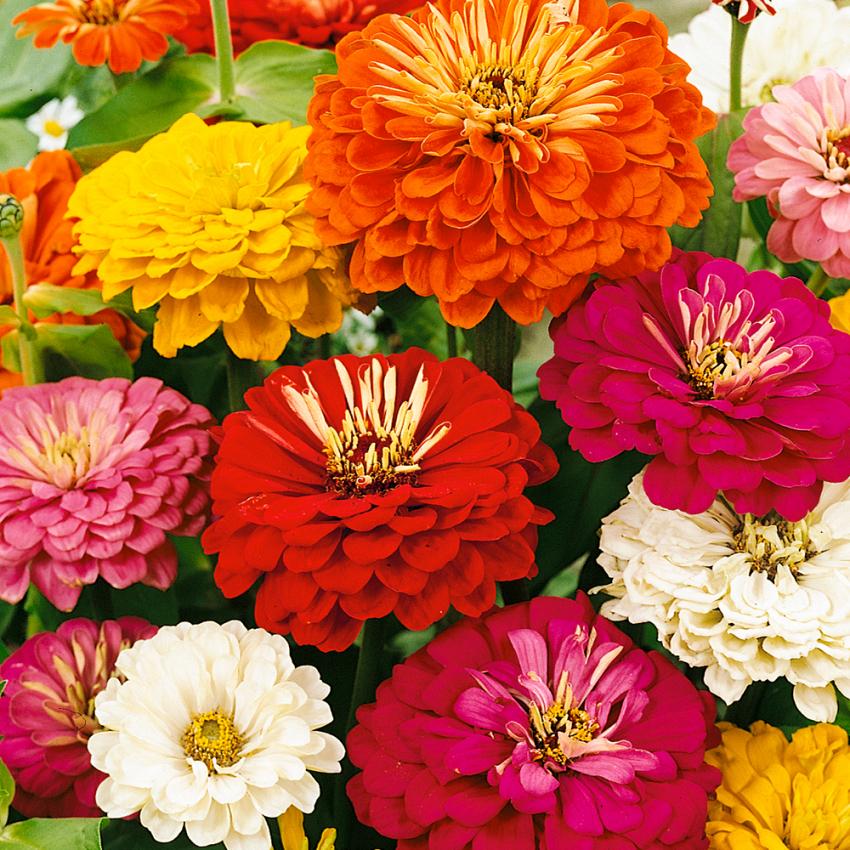 ZINNIA i gruppen Ettåriga blomsterväxter hos Impecta Fröhandel (8830)
