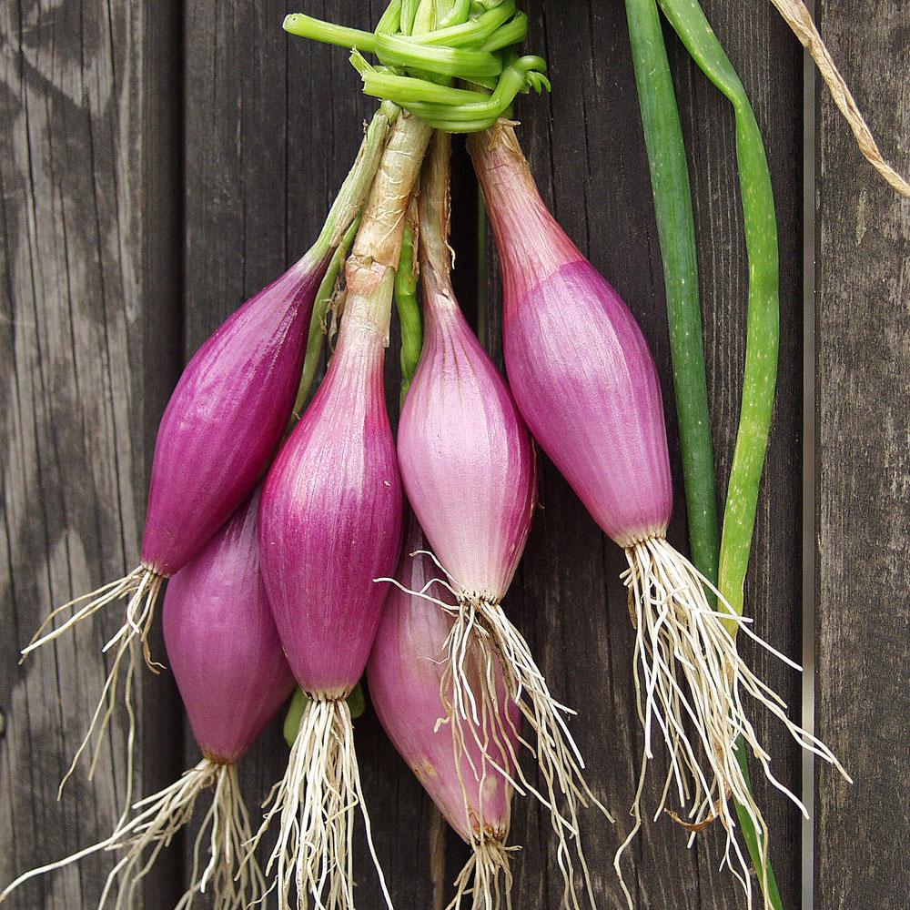 RÖD LÖK 'Long Red Florence' i gruppen Grönsaksväxter / Lökväxter hos Impecta Fröhandel (9289)