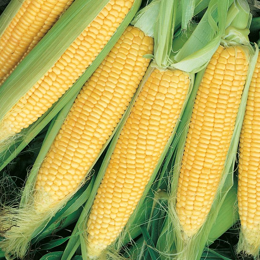 SOCKERMAJS F1 'Gucio' i gruppen Grönsaksväxter / Fruktgrönsaker / Majs hos Impecta Fröhandel (9344)