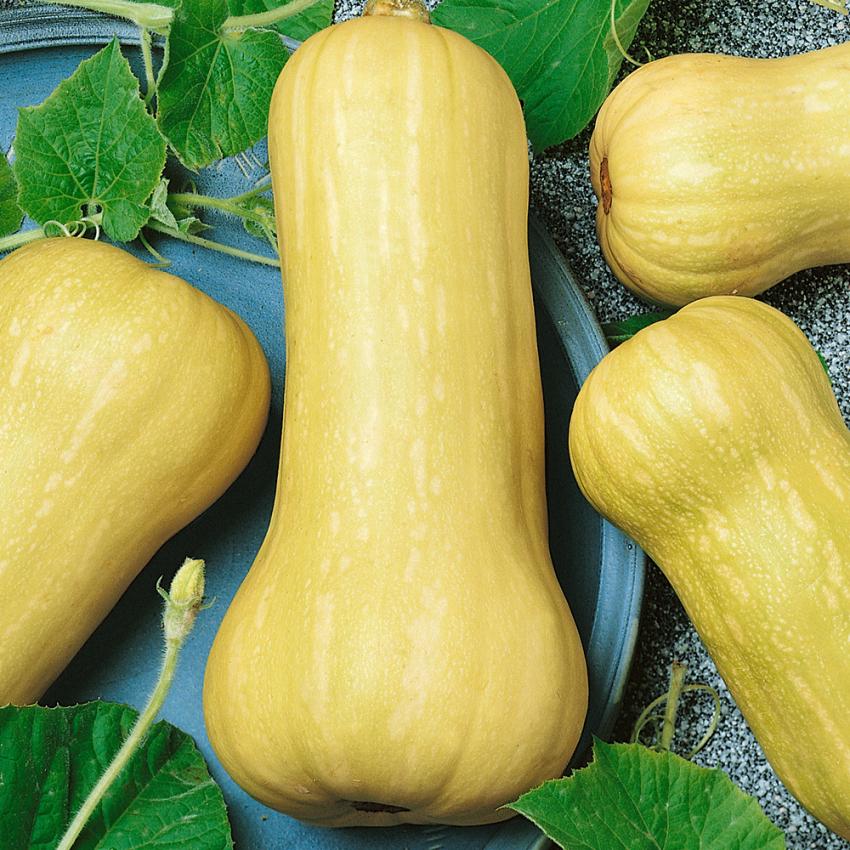 MYSKPUMPA 'Waltham Butternut' i gruppen Grönsaksväxter / Fruktgrönsaker / Squash hos Impecta Fröhandel (9366)