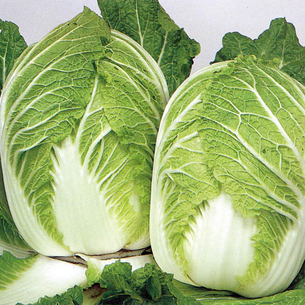 KINESISK SALLADSKÅL 'Wong Bok' i gruppen Grönsaksväxter / Kålväxter / Salladskål hos Impecta Fröhandel (9575)