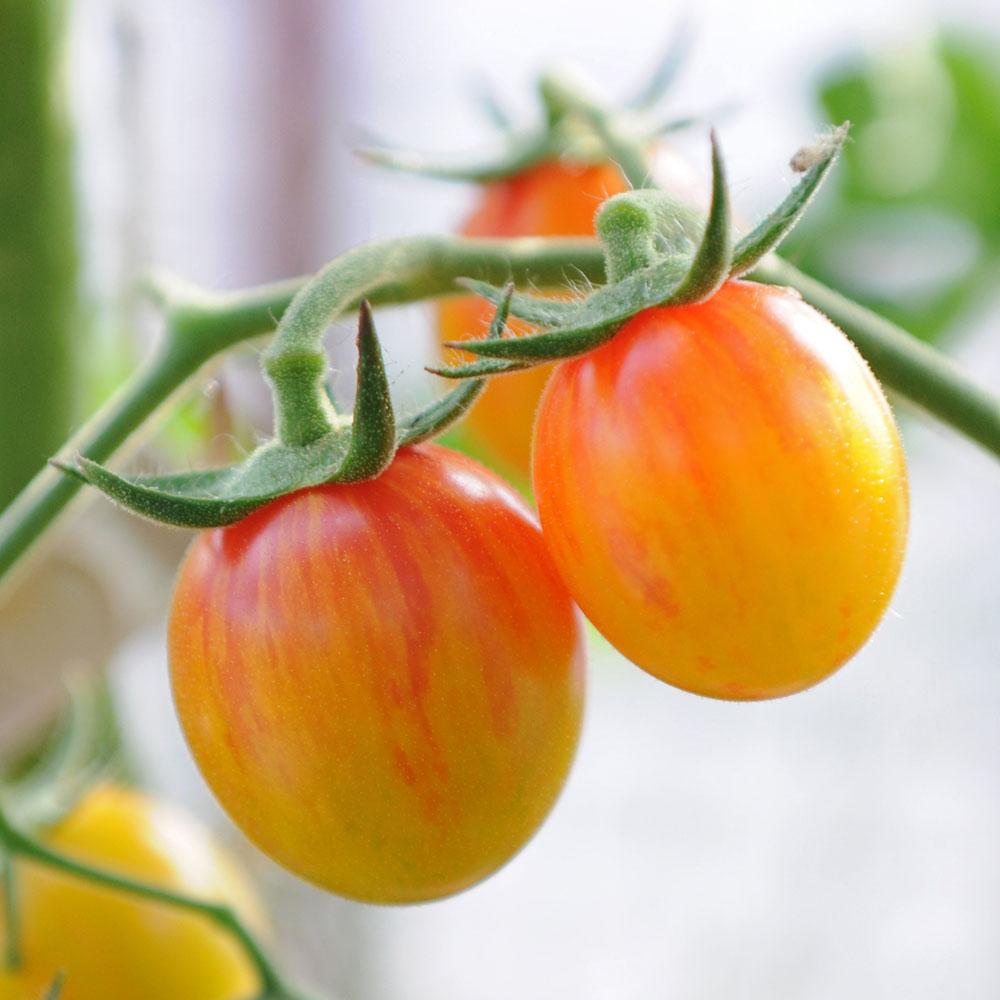 Körsbärstomat 'Artisan Golden Bumble Bee' i gruppen Fröer / Grönsaksväxter / Fruktgrönsaker / Tomater / Körsbärstomater hos Impecta Fröhandel (96932)