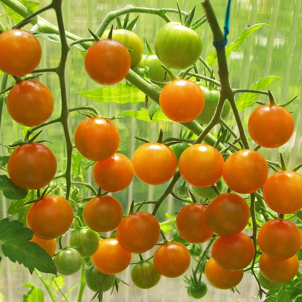 KÖRSBÄRSTOMAT F1 'Sungold' i gruppen Grönsaksväxter / Fruktgrönsaker / Tomat hos Impecta Fröhandel (9696)