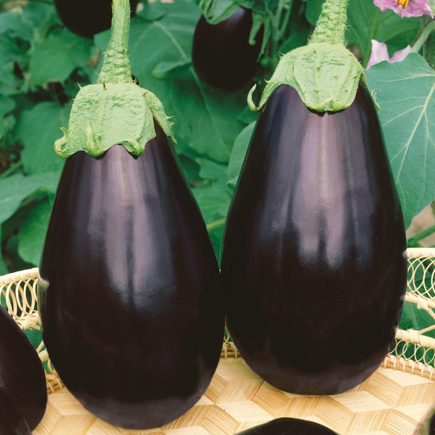 Aubergin i gruppen Grönsaksväxter hos Impecta Fröhandel (9803)