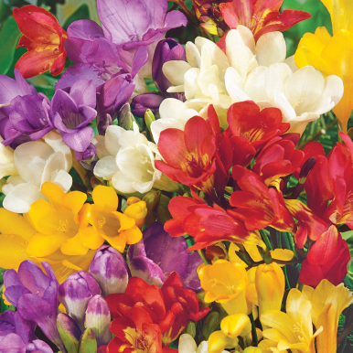 FREESIA 'Royal Champion'