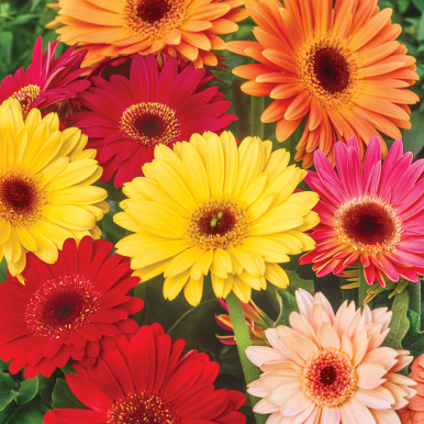 GERBERA 'California Giants'
