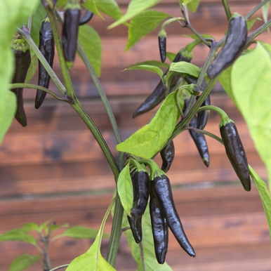 Chilipeppar 'Black Fangs'