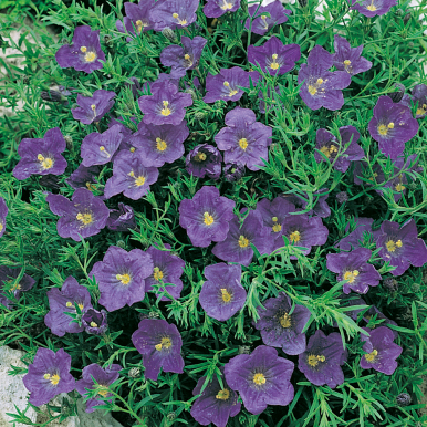 Nierembergia 'Purple Robe'