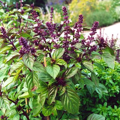 ANISBASILIKA 'Licorice Basil'