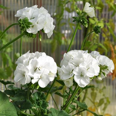 Pelargon F2 'Dancer White'