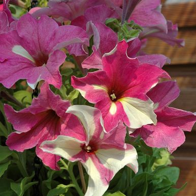 H�NGPETUNIA F1 'Sophistica Lime Bicolor'