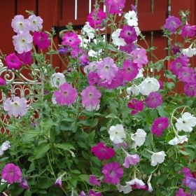 DOFTPETUNIA 'Old Fashioned Vining'