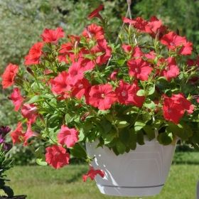 H�NGPETUNIA F1 'Avalanche Tropical Red'