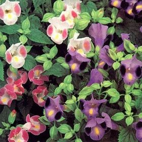 TORENIA 'Clown'