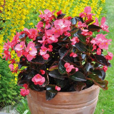 Begonia 'Big Rose with Bronze Leaf'