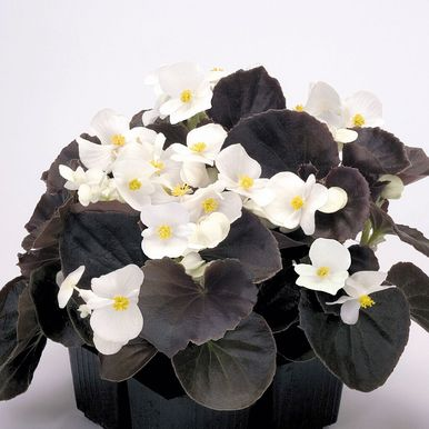 Sommarbegonia F1 'Nightlife'