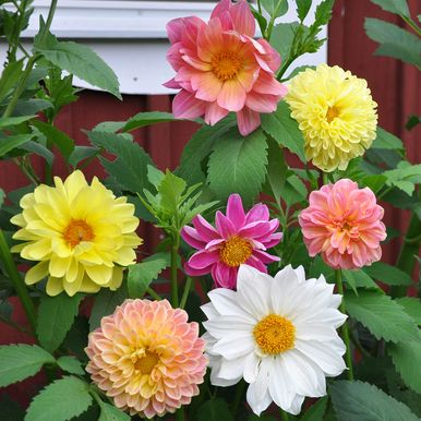 Dekorativdahlia 'Giants'