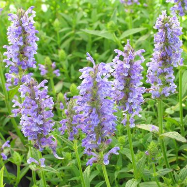 Axnepeta 'Blue Moon'