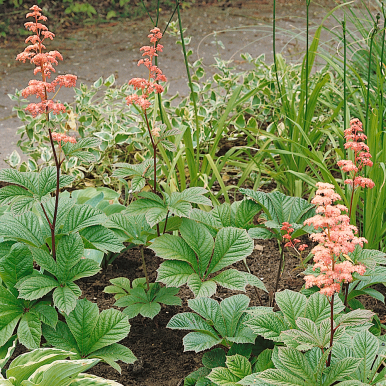 FINGRAD RODGERSIA