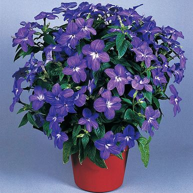 PRAKTBROWALLIA 'Blue Bells'