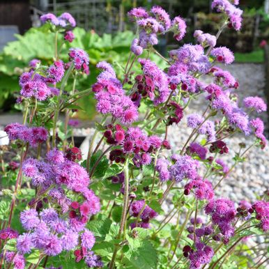 AGERATUM 'Red Cutting'
