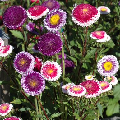 SOMMARASTER 'Moonshine Red-Blue'