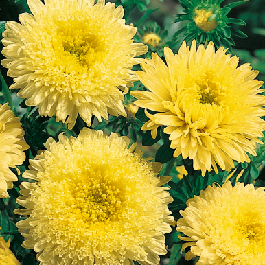 Sommaraster 'Princess Yellow'