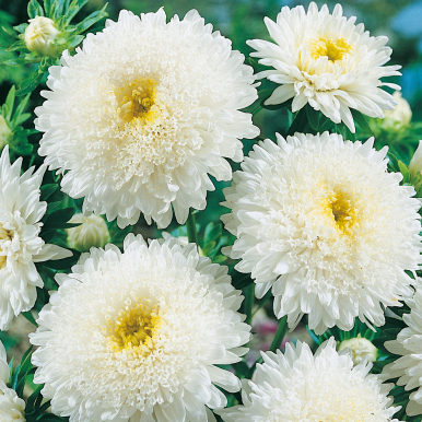 Sommaraster 'Princess White'