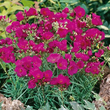 Flocksidenblomma 'Ruby Tuesday'