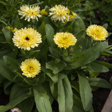 Ringblomma 'Costa Light Yellow'