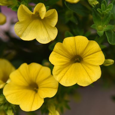 Minipetunia F1 'Kabloom Yellow'