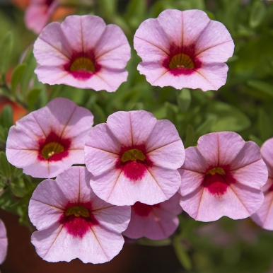Minipetunia F1 'Kabloom Light Pink Blast'