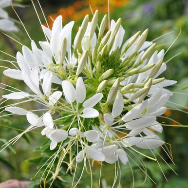 Paradisblomster 'White Queen'