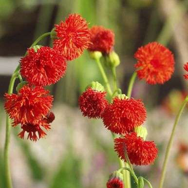 Tofsblomster 'Scarlet Magic'