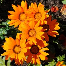 P�F�GELSBLOMSTER 'Daybreak Bright Orange'
