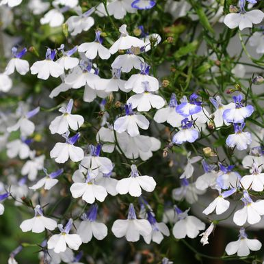 Hänglobelia 'Regatta Blue Splash'